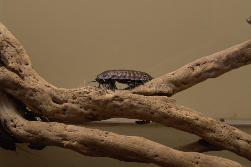 Σύρσιμο κατσαρίδων στοκ φωτογραφία