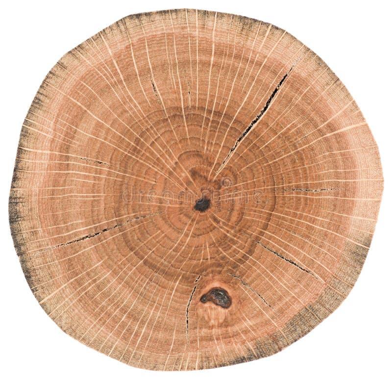 Σύσταση δρύινου ξύλου Κολόβωμα δέντρων με τα δαχτυλίδια και τις ρωγμές αύξησης που απομονώνονται στο άσπρο υπόβαθρο στοκ φωτογραφία