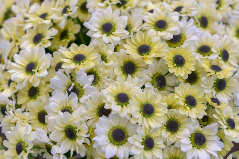 σύσταση μαργαριτών Ομάδα κεφαλιών λουλουδιών Chamomile r η ανθοδέσμη των όμορφων λουλουδιών μαργαριτών, κλείνει επάνω στοκ εικόνες με δικαίωμα ελεύθερης χρήσης