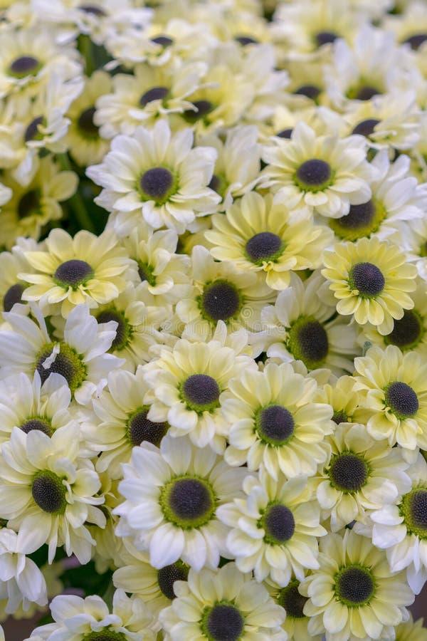 σύσταση μαργαριτών Ομάδα κεφαλιών λουλουδιών Chamomile r η ανθοδέσμη των όμορφων λουλουδιών μαργαριτών, κλείνει επάνω r στοκ εικόνες με δικαίωμα ελεύθερης χρήσης