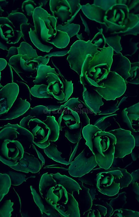 Σύσταση, πράσινη ευφορβία λουλουδιών ταπετσαριών πολύχρωμη, βγάζοντα στοκ εικόνες