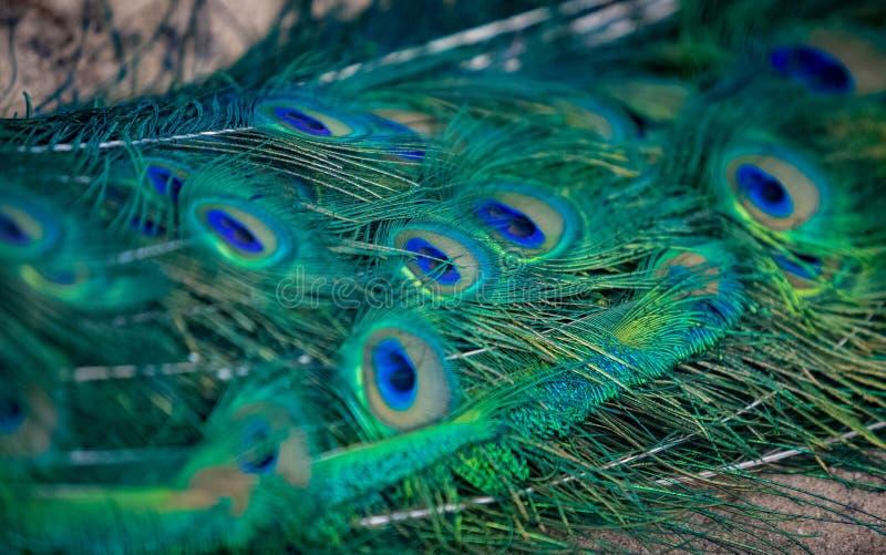 Σύσταση του ζωηρόχρωμου μπλε και πράσινου φτερού στο φτέρωμα peacock στοκ εικόνες