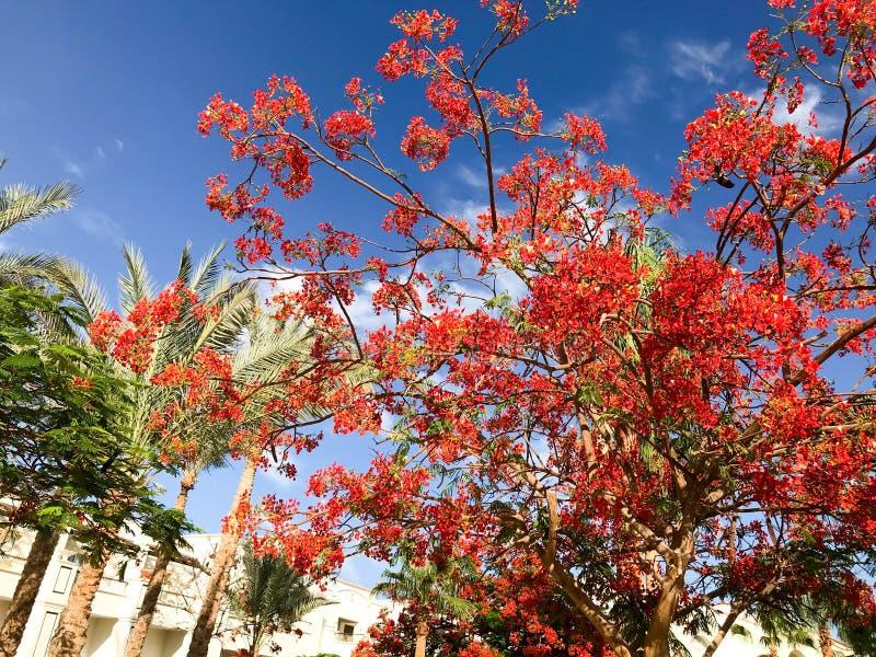 Σύσταση του καυσόξυλου delonix με τα κόκκινα τρυφερά όμορφα φυσικά φύλλα με τα πέταλα λουλουδιών, κλάδοι ενός τροπικού εξωτικού φ στοκ εικόνα με δικαίωμα ελεύθερης χρήσης