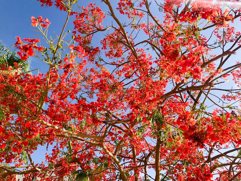 Σύσταση του καυσόξυλου delonix με τα κόκκινα τρυφερά όμορφα φυσικά φύλλα με τα πέταλα λουλουδιών, κλαδίσκοι ενός τροπικού εξωτικο στοκ εικόνες με δικαίωμα ελεύθερης χρήσης