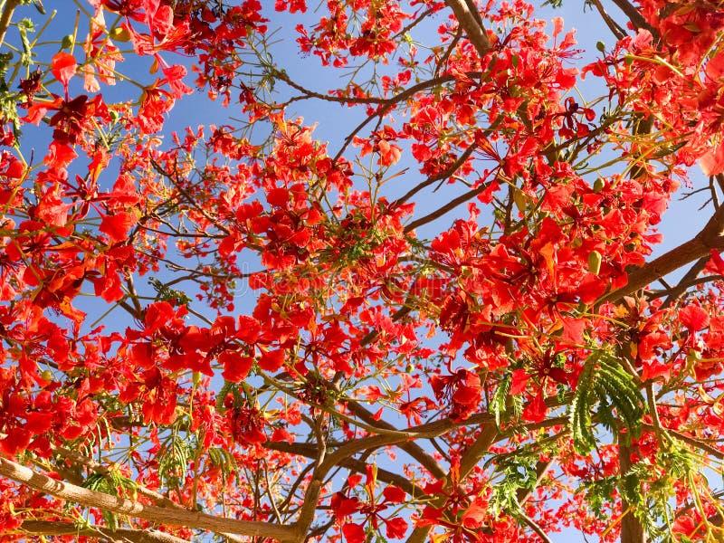Σύσταση του καυσόξυλου delonix με τα κόκκινα τρυφερά όμορφα φυσικά πολυάριθμα φύλλα με τα πέταλα των λουλουδιών, κλάδοι ενός τροπ στοκ εικόνα με δικαίωμα ελεύθερης χρήσης