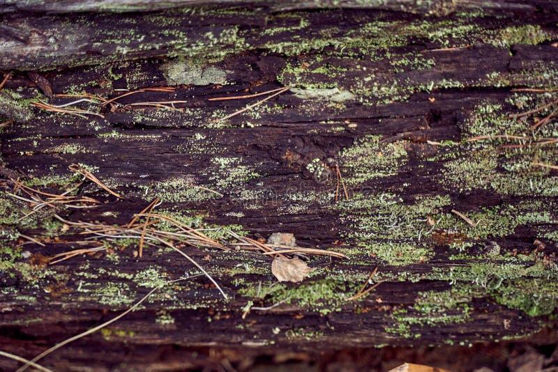 Σύσταση του παλαιού ξύλου στο δάσος, που καλύπτεται με το βρύο και τη β στοκ φωτογραφία