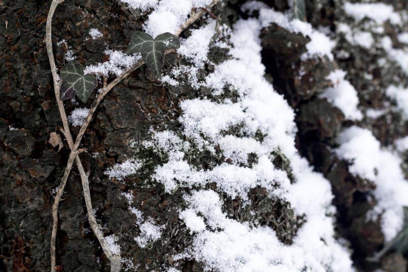Σύσταση του φλοιού ενός δέντρου που καλύπτεται με το χιόνι και με την αναρρίχηση των εγκαταστάσεων στοκ φωτογραφία με δικαίωμα ελεύθερης χρήσης