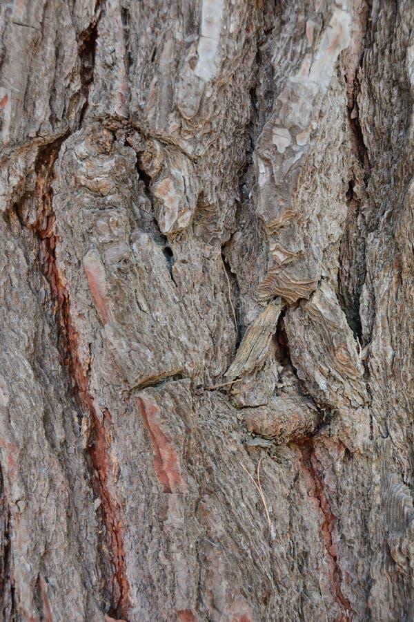 Σύσταση του φλοιού παλαιού στενού ενός επάνω δέντρων στοκ φωτογραφίες με δικαίωμα ελεύθερης χρήσης