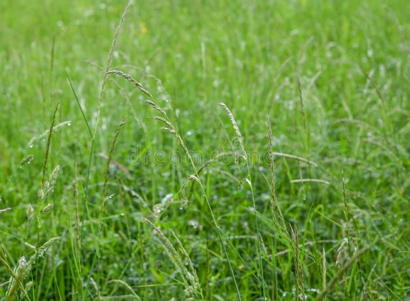 Σύσταση του φρέσκου πράσινου τομέα χλόης που χρησιμοποιείται για το υπόβαθρο Σύσταση του φωτεινού μακριού πράσινου λιβαδιού χλόης στοκ φωτογραφίες