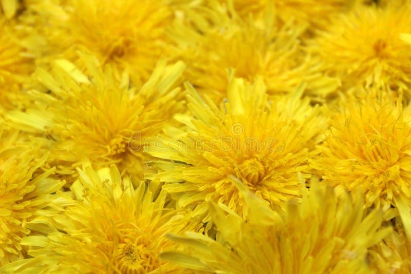 Σύσταση των κίτρινων φρέσκων οφθαλμών θερινών πικραλίδων στοκ φωτογραφίες