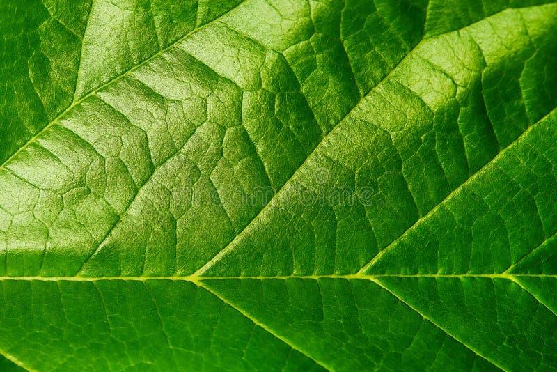 Σύσταση υποβάθρου του πράσινου φύλλου Μακρο φωτογραφία του πράσινου φύλλου στοκ εικόνες με δικαίωμα ελεύθερης χρήσης