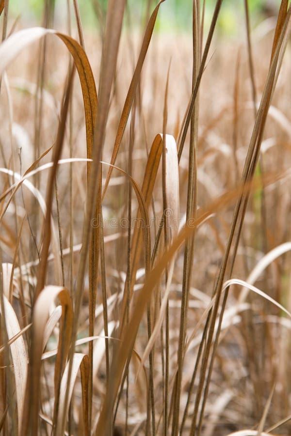Σύσταση υποβάθρου των ξηρών διακοσμητικών χλοών στοκ εικόνες