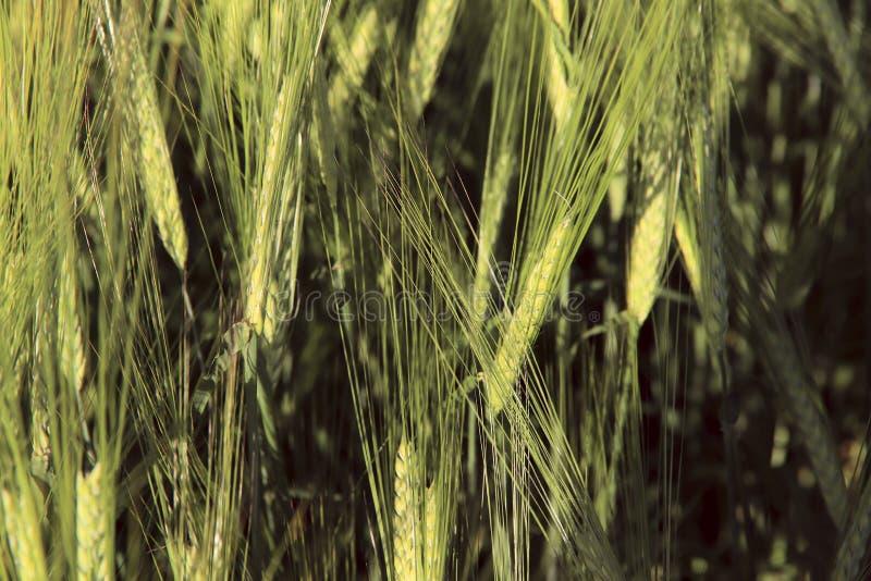 Σύσταση υποβάθρου των πράσινων αυτιών σίτου σε έναν τομέα μια ηλιόλουστη ημέρα στοκ φωτογραφία με δικαίωμα ελεύθερης χρήσης