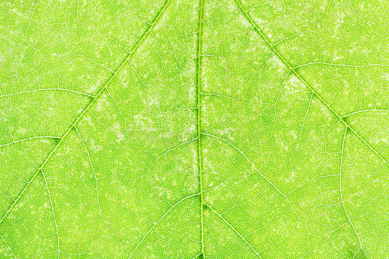 Σύσταση φρέσκου πράσινου στενού επάνω φύλλων σφενδάμου στοκ φωτογραφία με δικαίωμα ελεύθερης χρήσης