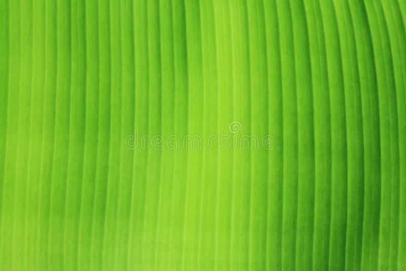 σύσταση φύλλων μπανανών στοκ εικόνες