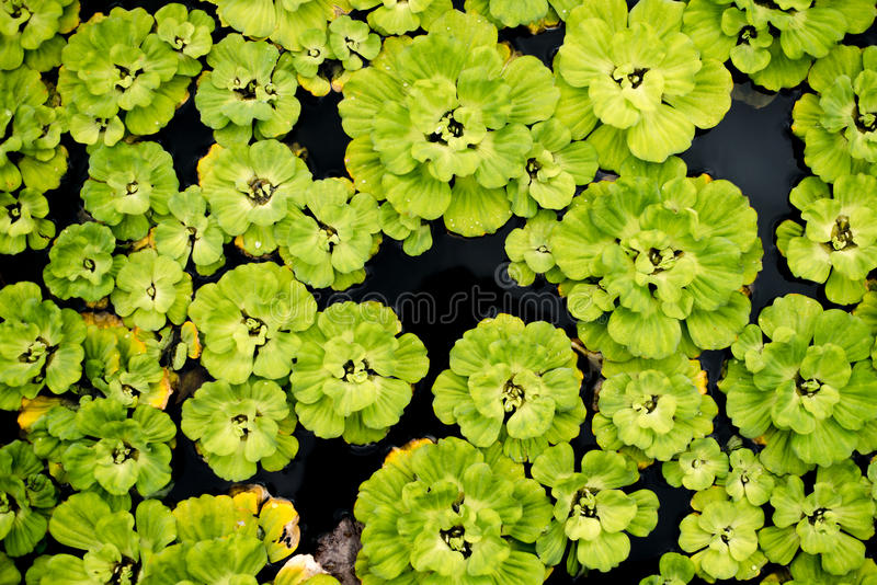 Σύσταση Lilis στοκ εικόνες