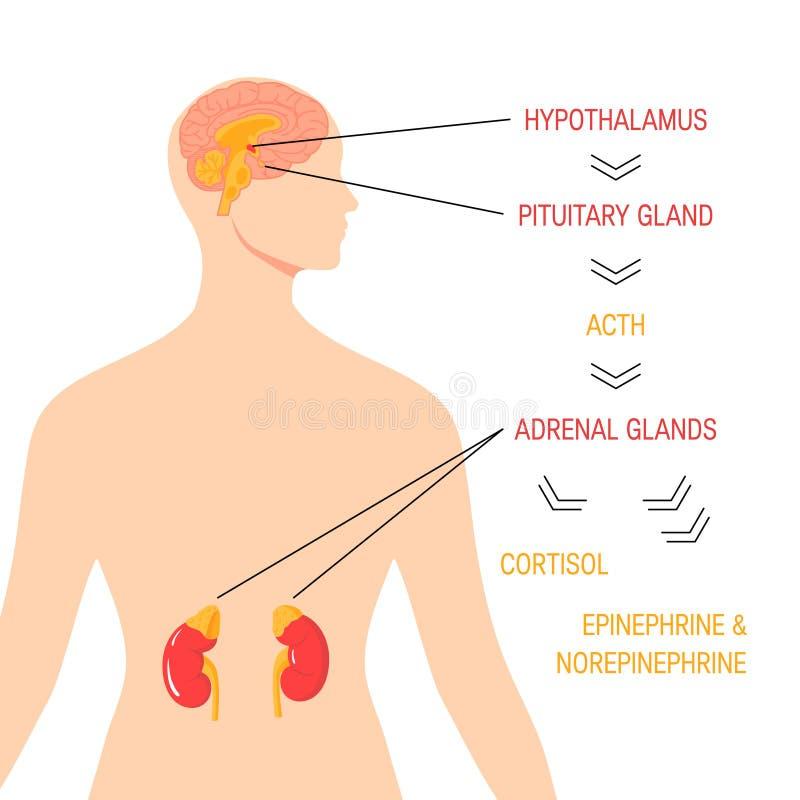 Σύστημα απάντησης πίεσης Διανυσματικό ενδοκρινές ιατρικό διάγραμμα διανυσματική απεικόνιση