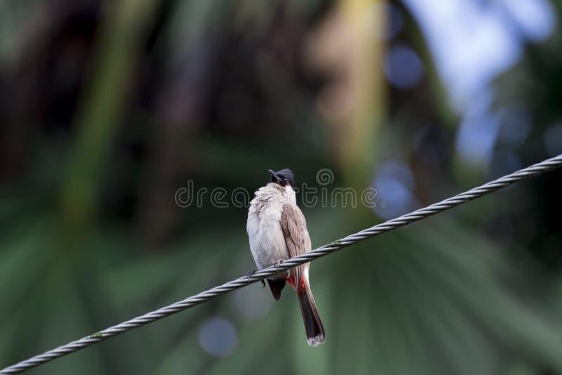 Σύλληψη πουλιών στα δέντρα, ήχοι φύσης, Buibui στοκ φωτογραφίες
