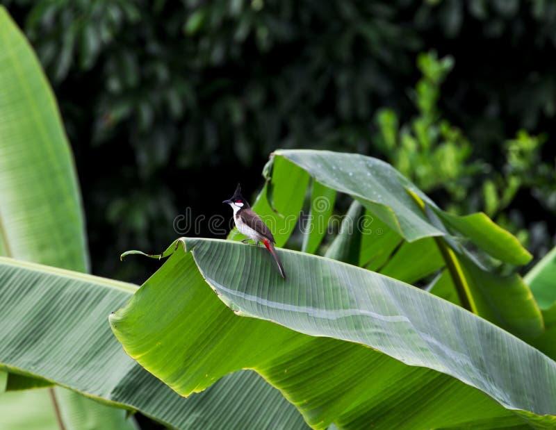 Σύλληψη πουλιών στα δέντρα, ήχοι φύσης, Buibui στοκ φωτογραφία με δικαίωμα ελεύθερης χρήσης