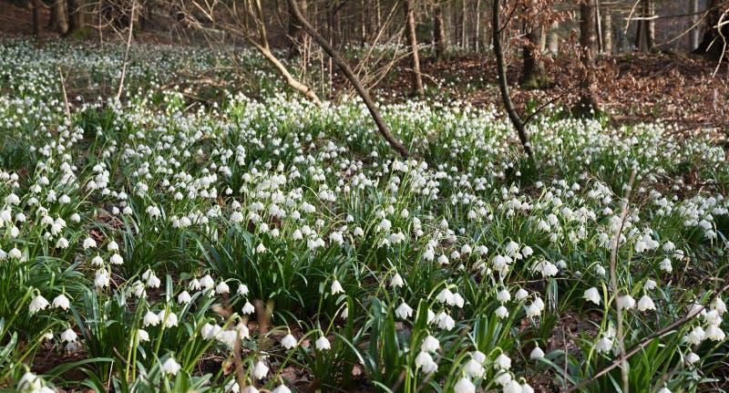 Τάπητας με τα λουλούδια snowdrop στο δάσος στοκ εικόνες