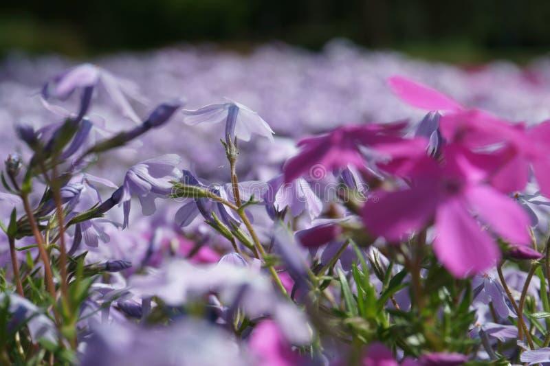 Τάπητας λουλουδιών στοκ εικόνα με δικαίωμα ελεύθερης χρήσης