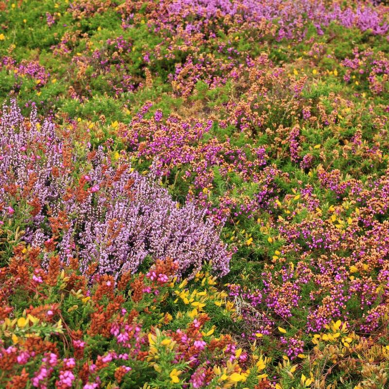 Τάπητας των λουλουδιών στην ΚΑΠ Frehel, Βρετάνη στοκ φωτογραφία με δικαίωμα ελεύθερης χρήσης