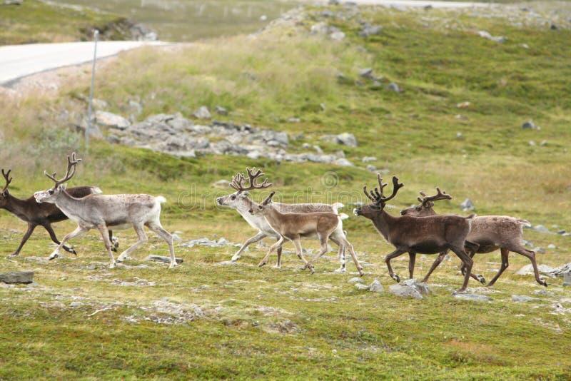 τάρανδος της Νορβηγίας στοκ φωτογραφίες με δικαίωμα ελεύθερης χρήσης