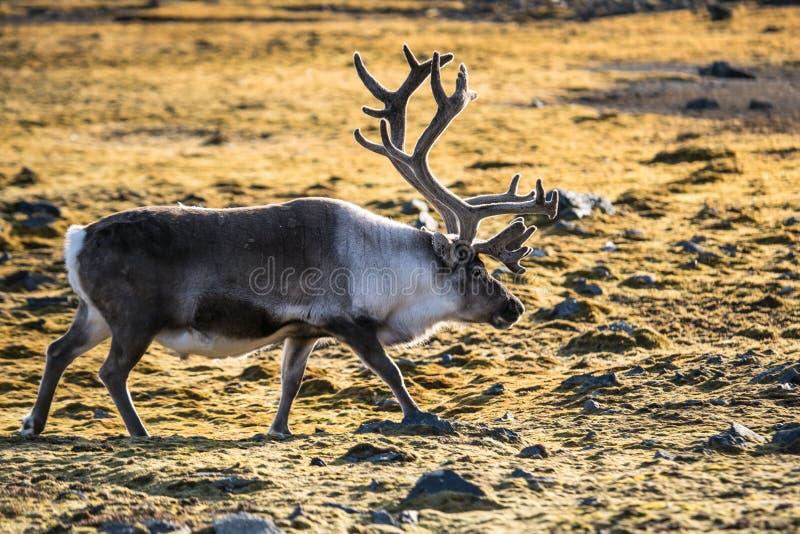 Τάρανδος tundra φθινοπώρου στοκ φωτογραφία με δικαίωμα ελεύθερης χρήσης