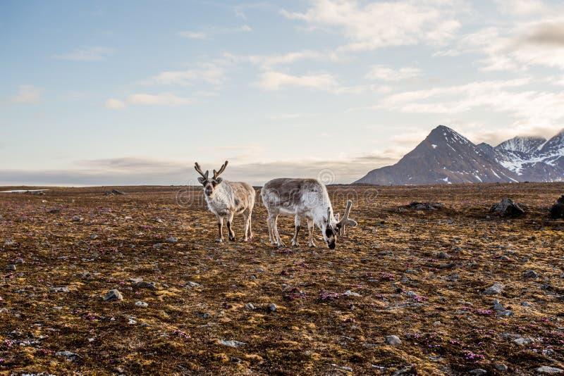Τάρανδος tundra στοκ εικόνες