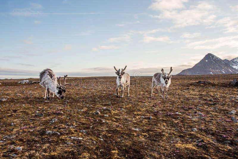 Τάρανδος tundra στοκ φωτογραφία