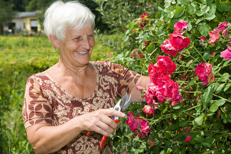 τέμνοντα κόκκινα τριαντάφυ&la στοκ εικόνα
