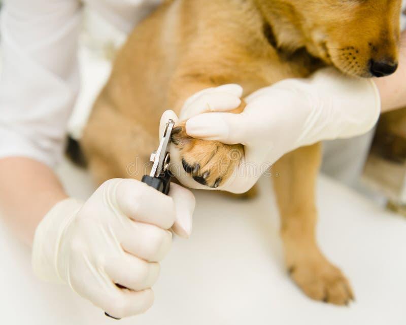Τέμνοντα toenails σκυλιών κτηνιάτρων κινηματογραφήσεων σε πρώτο πλάνο στοκ εικόνα