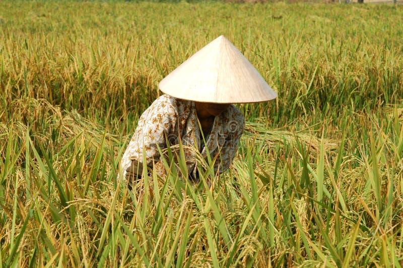 τέμνον ρύζι αγροτών στοκ εικόνα