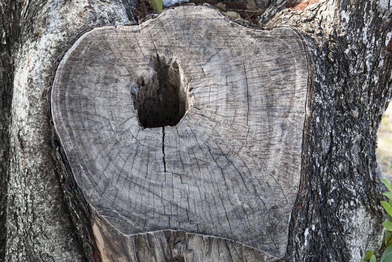 Τέμνουσα επιφάνεια της ξύλινης χρήσης δέντρων φλοιών ως σύσταση φυσικού υποβάθρου στοκ φωτογραφία
