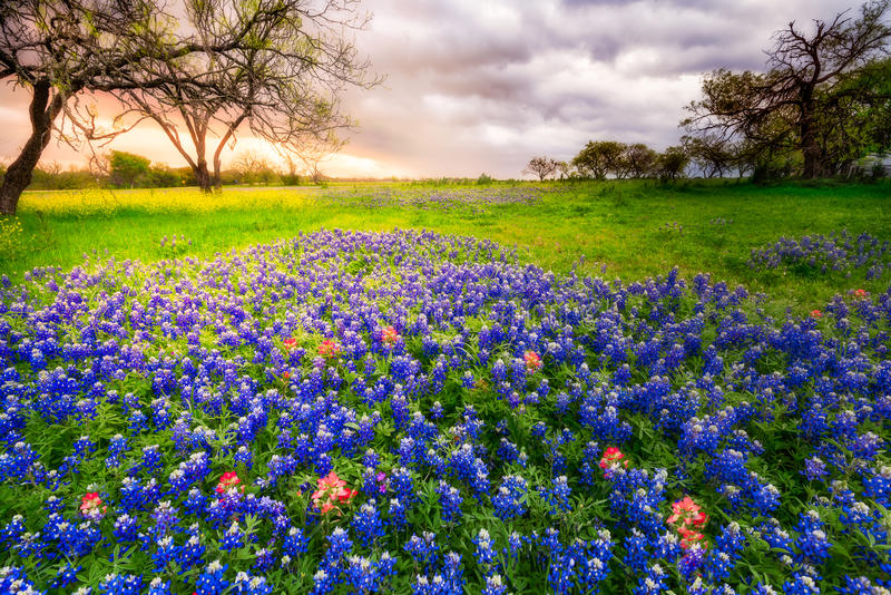 Τέξας Wildflowers σε ένα νεφελώδες πρωί ανοίξεων στοκ εικόνες