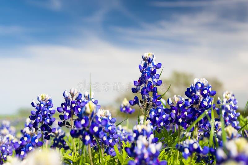Τέξας Wildflowers στοκ φωτογραφία