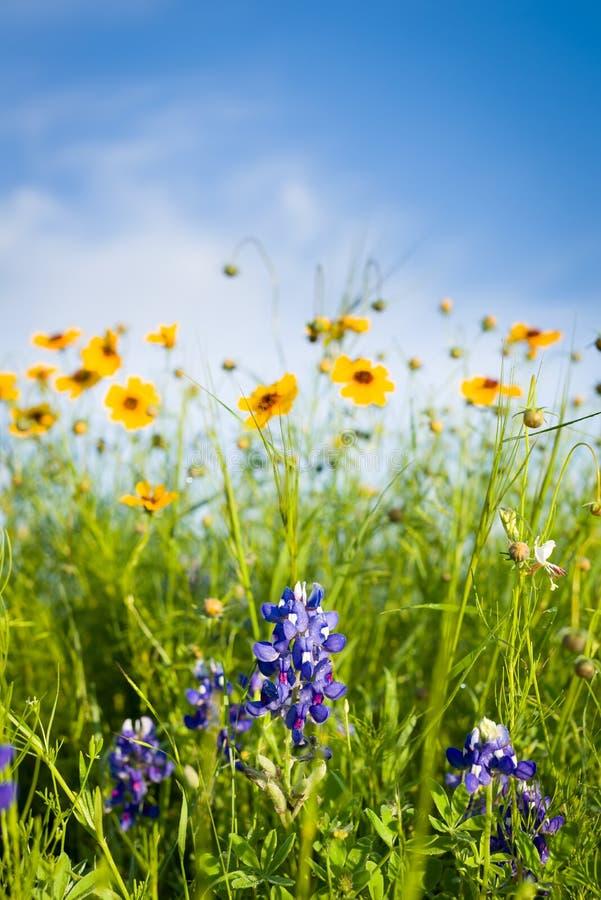 Τέξας Wildflowers στοκ εικόνες