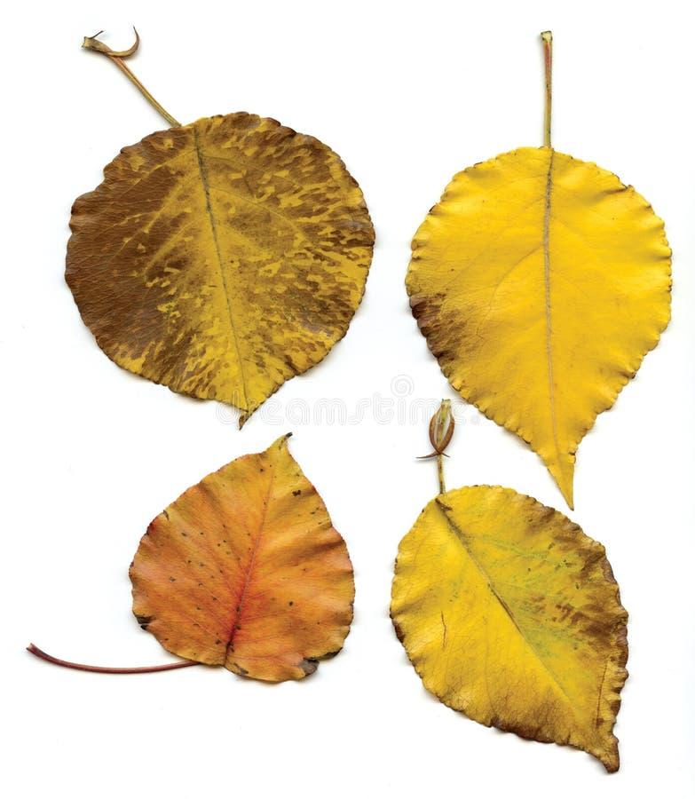 Τέσσερα κίτρινα φύλλα στοκ εικόνες