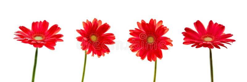 Τέσσερα κόκκινα λουλούδια gerbera μαργαριτών που απομονώνονται στο άσπρο υπόβαθρο στοκ φωτογραφία