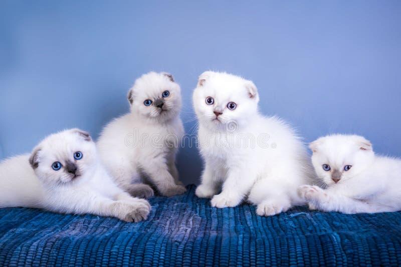 Τέσσερα χαριτωμένα σκωτσέζικα γατάκια σημείου χρώματος πτυχών shorthair ασημένια με τα μπλε μάτια στοκ εικόνα με δικαίωμα ελεύθερης χρήσης