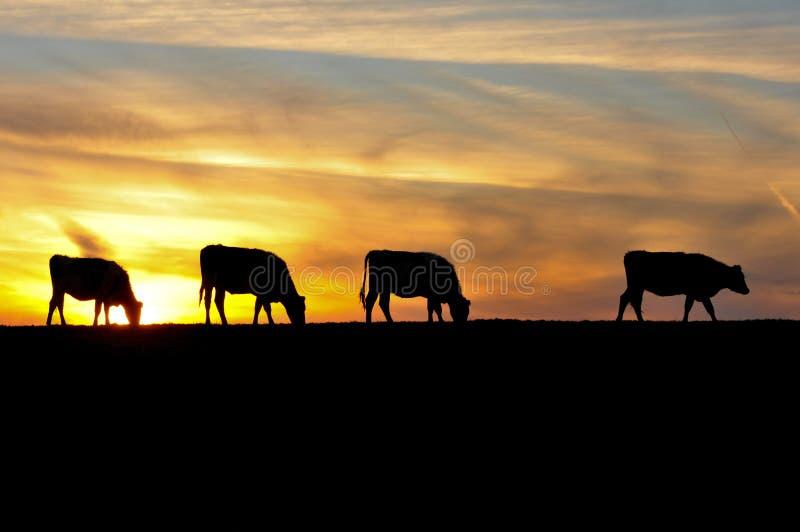 Τέσσερις αγελάδες είναι από το ηλιοβασίλεμα σε έναν λόφο στοκ εικόνες