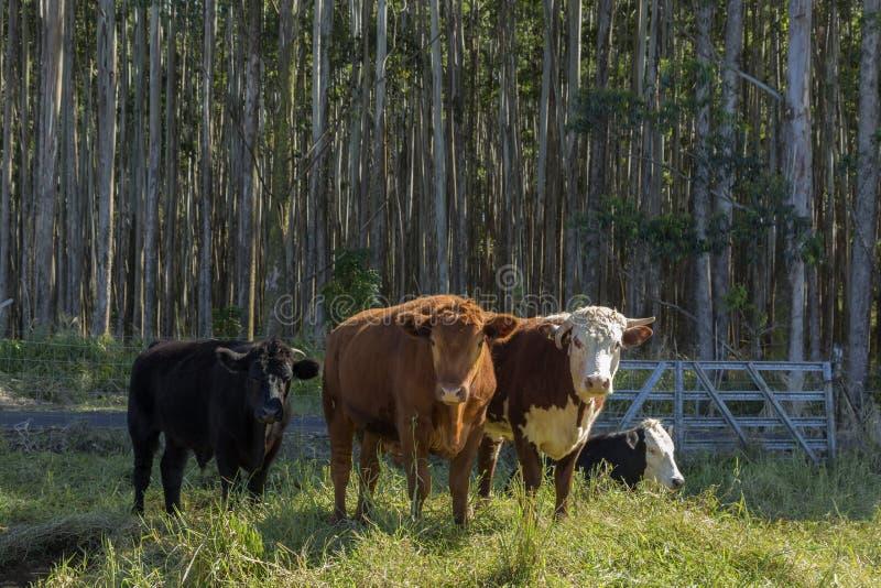 Τέσσερις αγελάδες σε ένα λιβάδι στοκ εικόνα