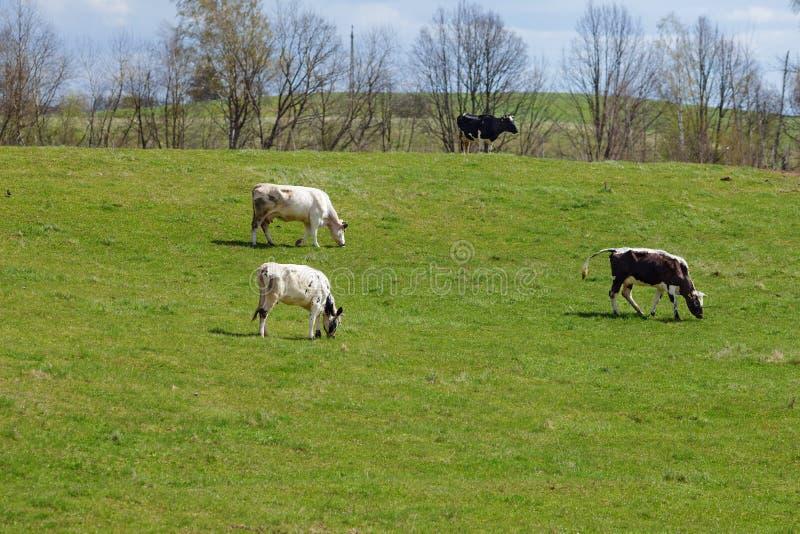 Τέσσερις αγελάδες στο πράσινο λιβάδι στοκ εικόνες