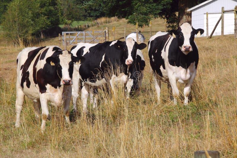 Τέσσερις αγελάδες του Χολστάιν στοκ εικόνα με δικαίωμα ελεύθερης χρήσης