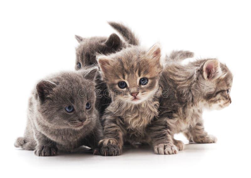 Τέσσερις γκρίζες γάτες στοκ φωτογραφία