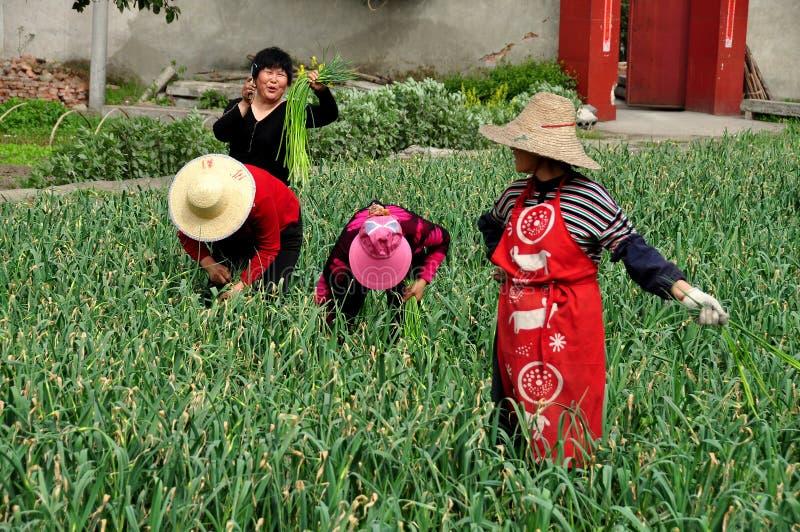 Pengzhou, Κίνα: Γυναίκες που συγκομίζουν τα πράσινα σκόρδου στοκ φωτογραφίες