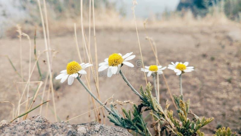 Τέσσερις μαργαρίτες ενάντια στη φύση στεπών, θολωμένο υπόβαθρο στοκ εικόνα με δικαίωμα ελεύθερης χρήσης