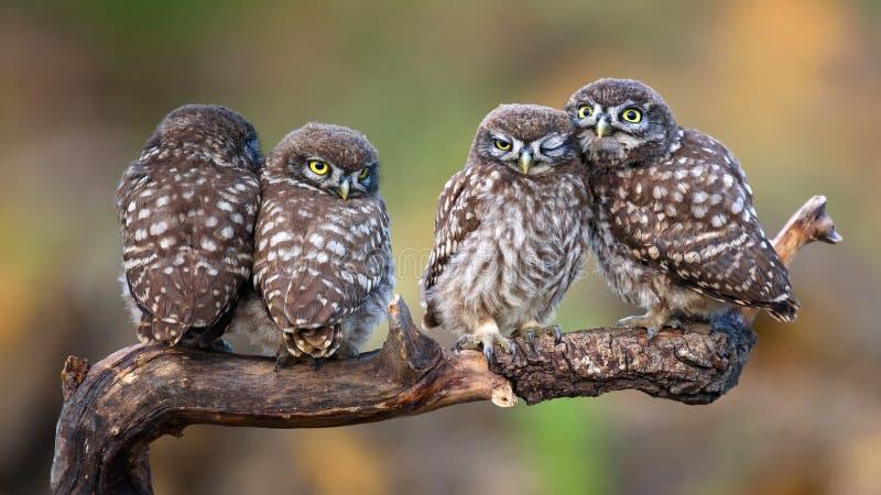 Τέσσερις μικρές κουκουβάγιες που κάθονται ανά τα ζευγάρια σε ένα ραβδί στοκ φωτογραφία με δικαίωμα ελεύθερης χρήσης