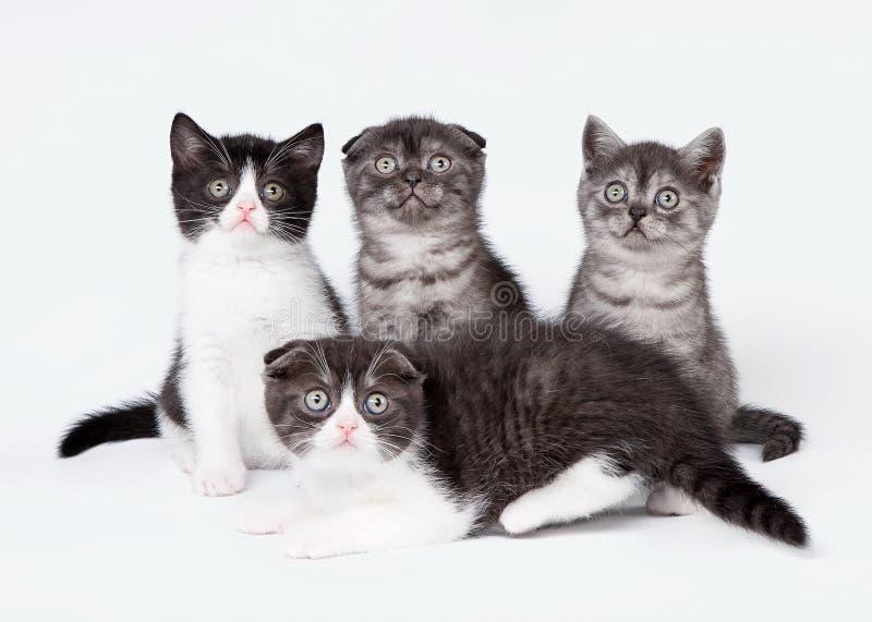 Τέσσερις μικρές σκωτσέζικες πτυχές και ευθέα γατάκια στοκ εικόνες με δικαίωμα ελεύθερης χρήσης