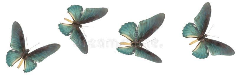Τέσσερις μπλε πεταλούδες σε ένα άσπρο υπόβαθρο στοκ φωτογραφία